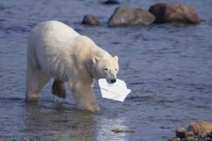 Polar Bear carrying styrofoam in mouth